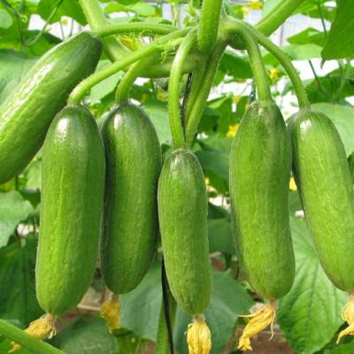 Cucumber (600 Gms)