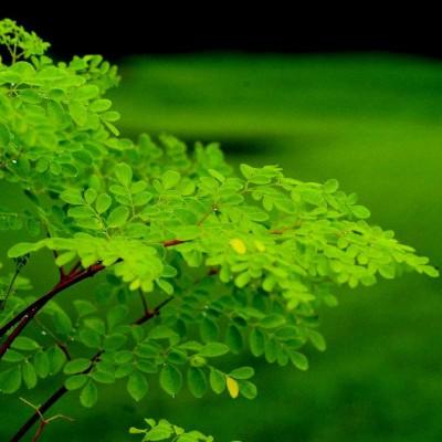 Moringa Leaves (25 Gms)