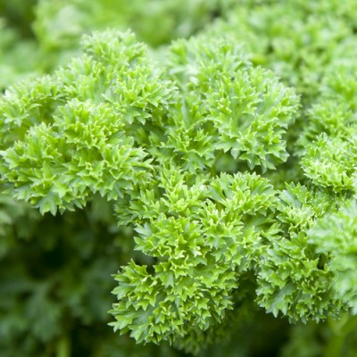 Parsley Curly (100 Gms)