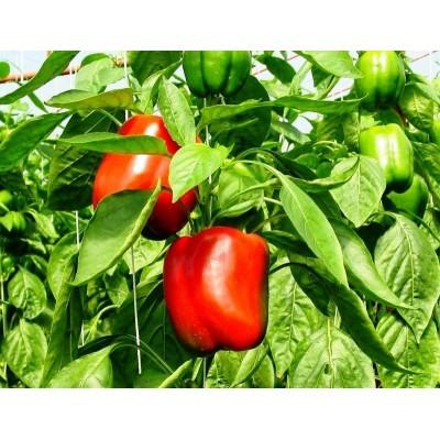 Capsicum Red  (500 Gms)