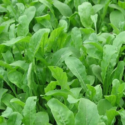 Rocca Leaves  (100 Gms)