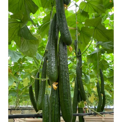 Long English Cucumber (Per Piece)