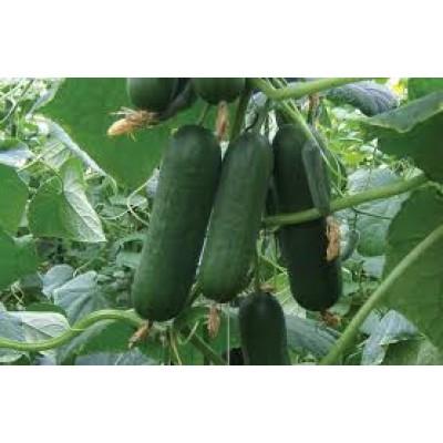 Snack Cucumber (500 Gms)